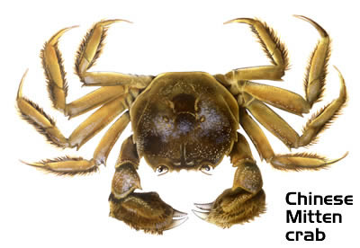 chinese-mitten-crab-large_www.starfish.govt.nz.jpg